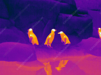 Thermogram of Penguins