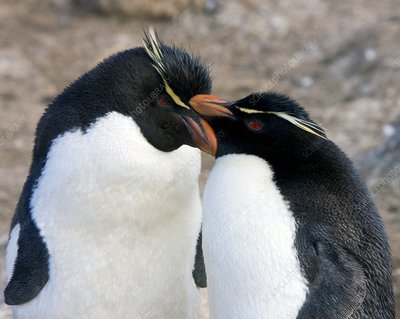 Southern rockhopper penguins courting