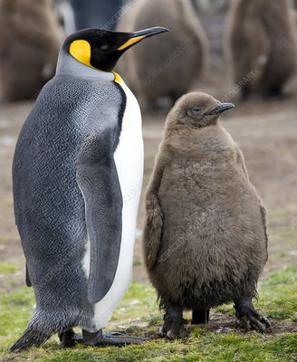 King penguin and chick