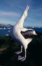 Wandering albatross displaying