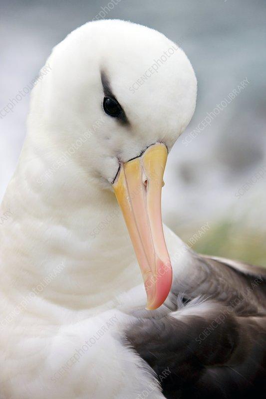 Black-browed albatross - Stock Image - Z812/0064 - Science ...