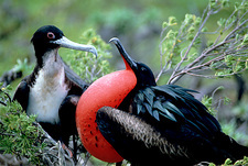 Great frigatebirds