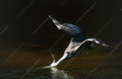 Brown pelican (Pelecanus occidentalis) diving