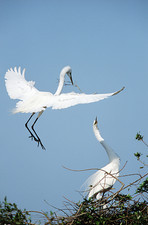 Great egret couple
