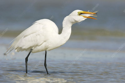 Great egret eating a fish