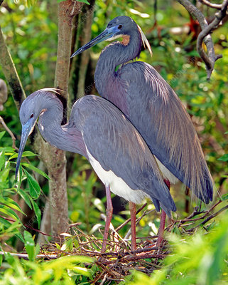 Pair of Tricolored Heron at nest