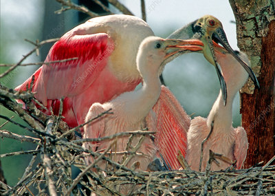 Roseate Spoonbill feeding young at nest