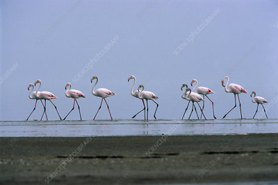 Greater flamingos wading