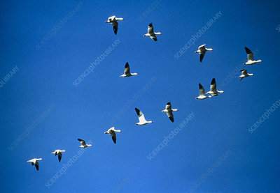 Snow geese (Anser caerulescens) flying in V-shape