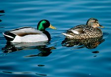Male and female mallards (Anas platyrhynchos)