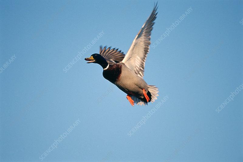 Mallard Duck Flying Stock Image Z828 0147 Science Photo Library