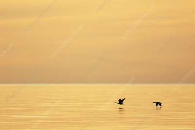 Canada geese over Lake Superior