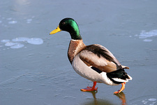 Mallard drake walking on ice