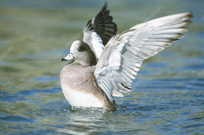 American Wigeon flapping its wings