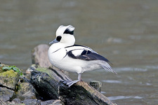 Male smew duck