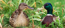 Mallard ducks, composite image
