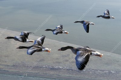 Greylag geese flying