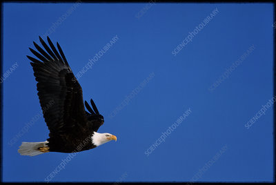 Bald eagle, Haliaeetus leucocephalus, in flight