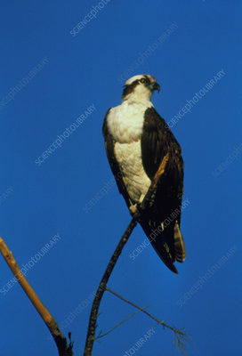 Osprey (Pandion haliaetus) perched on a branch