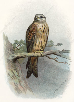 Red kite, historical artwork