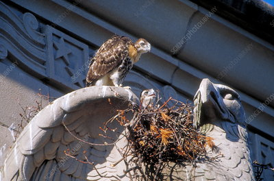 Young red-tailed hawks