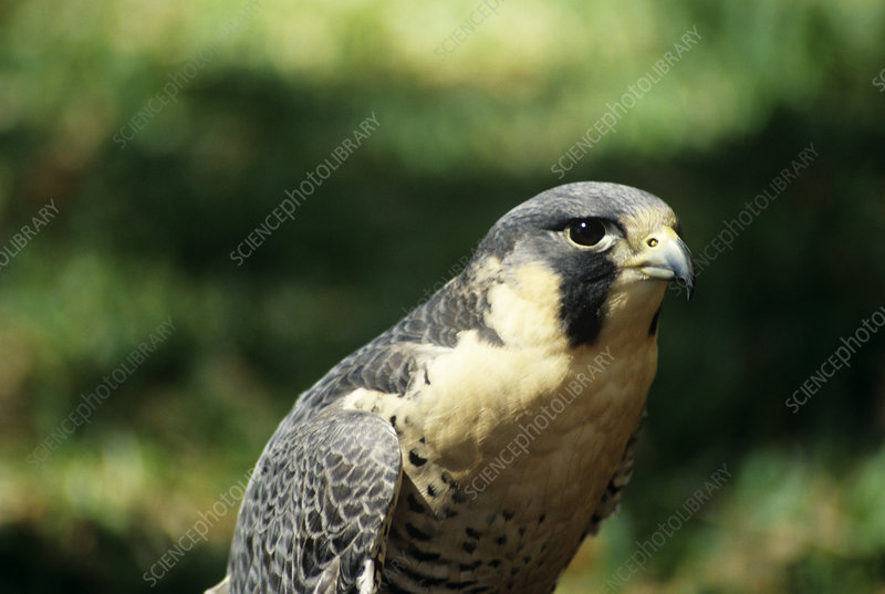 peregrine falcon diving. Peregrine falcon