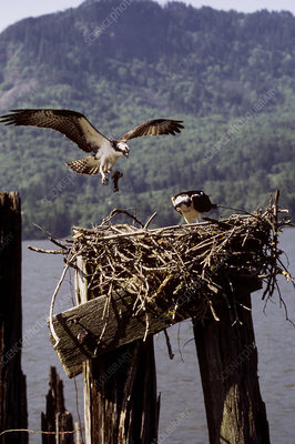 Osprey bringing fish to mate