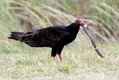 Turkey Vulture Eating Snake