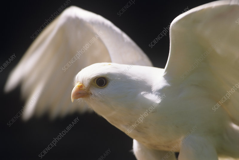 Albino common kestrel