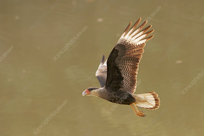 Crested caracara in flight
