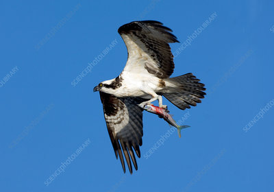 Osprey with Needle Fish
