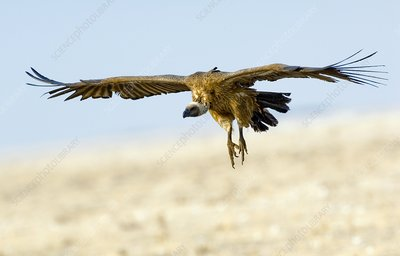 White-backed vulture in flight