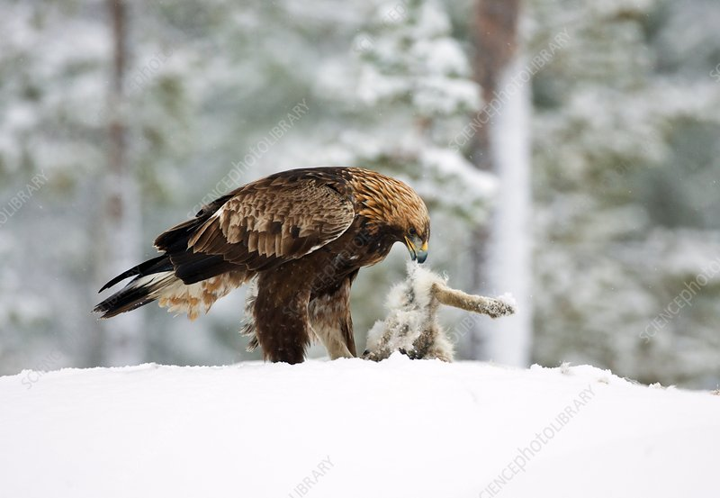 golden eagle head. Golden eagle eating hare
