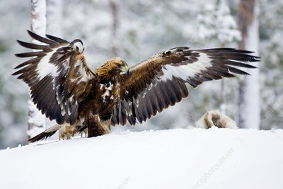 Golden eagle with hare