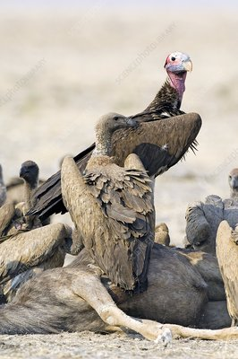 Vultures with carrion