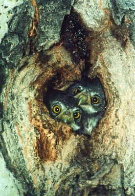 Pygmy owls (Glaucidium gnoma) in nest hole in tree
