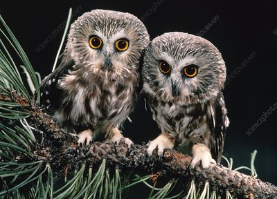 Saw-whet owls