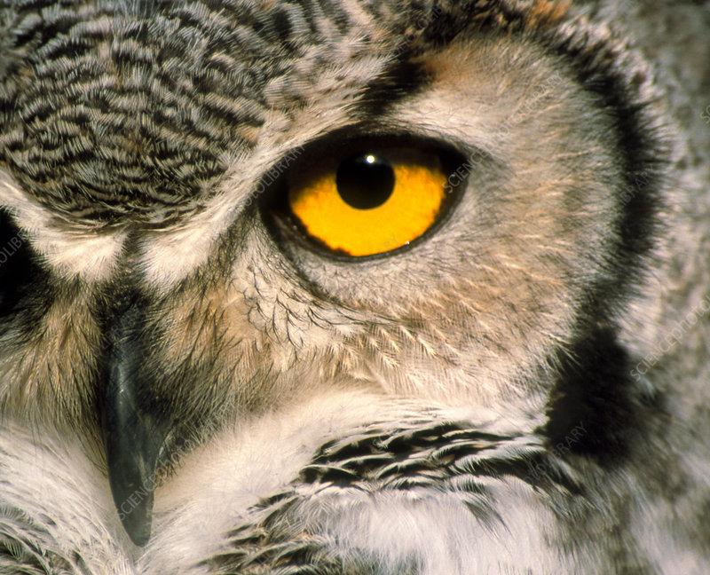 Great horned owl eye -...