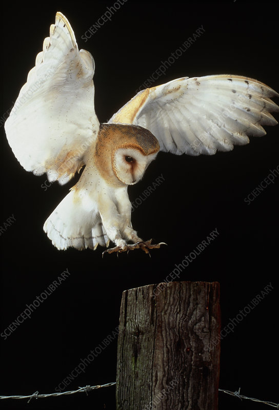 Barn Owl Stock Image Z836 0057 Science Photo Library