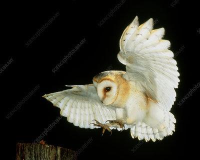 Barn owl - Stock Image - Z836/0058 - Science Photo Library