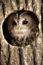 Tawny owl peering out of a tree
