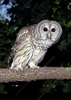 Adult Female Barred Owl (Strix varia)