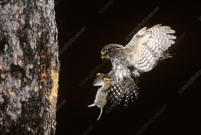 Northern Pygmy Owl flying to nest with prey