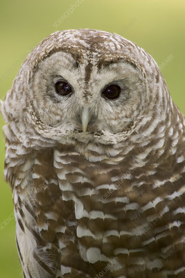 Northern Barred Owl