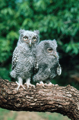 Young Screech Owls in gray phase