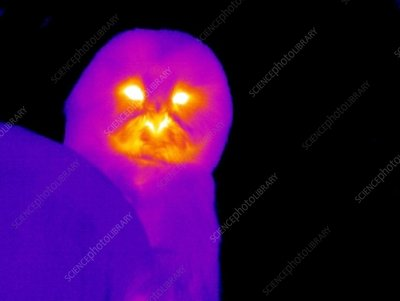 Owl, thermogram