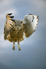 Bengalese eagle owl in flight