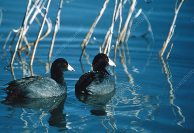 American coots (Fulica americana) swimming on lake