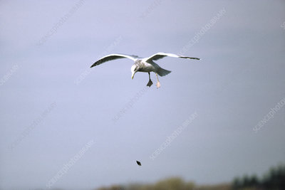 Herring gull dropping a mussel