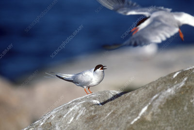 Terns fighting